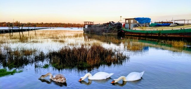 17. Swan family at Pin Mill